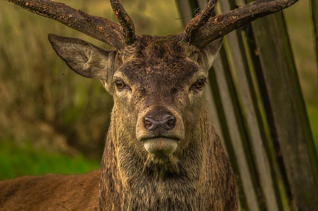 Où écouter le brame du cerf dans la forêt des Vosges?